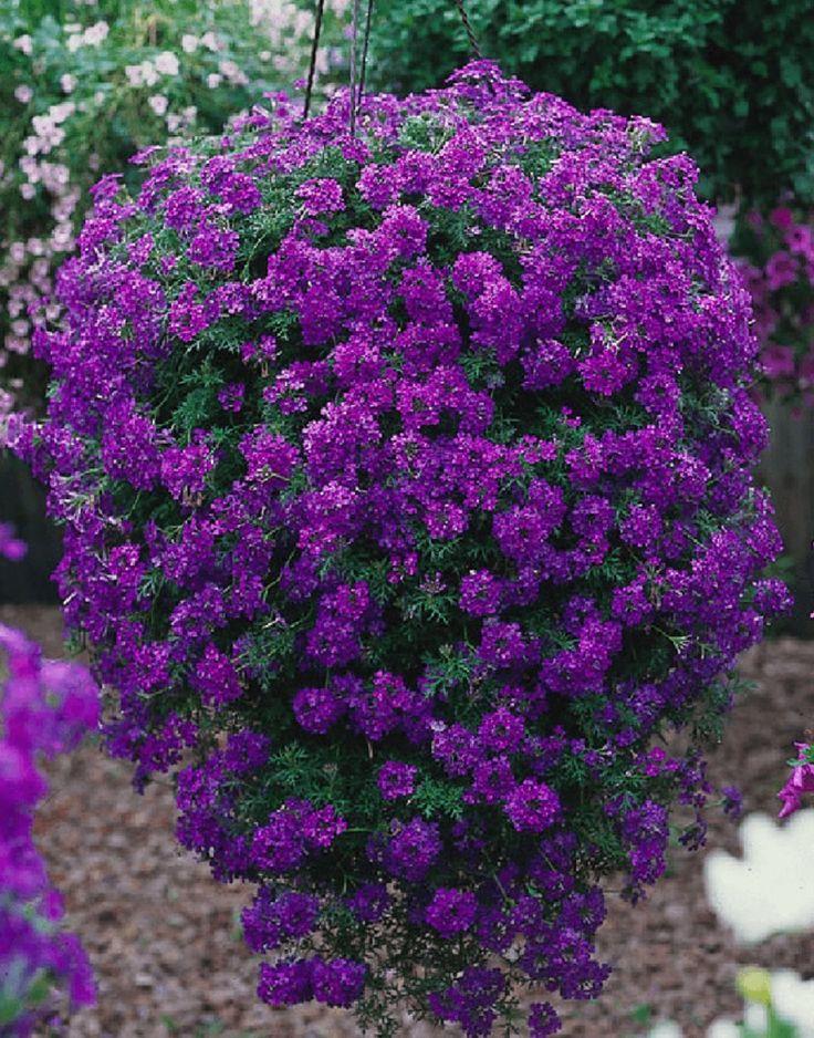 6 Trailing Verbena Tapien Violet   Basket Trailing Patio Plug Plants  in Garden & Patio, Plants, Seeds & Bulbs, Plants & Seedlings | eBay!