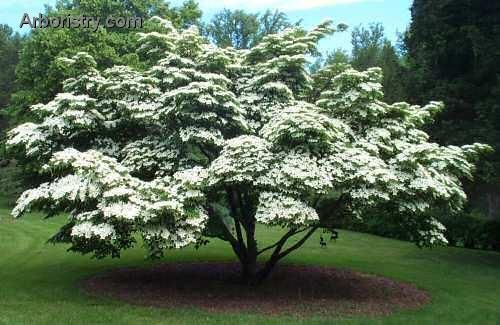 Kousa Dogwood Tree..Kousa Dogwood Kousa Dogwood has a broader, more rounded shape than a traditional Dogwood, and has the benefit of being more disease resistant. Growing to 20 feet, it blooms pink or white in early summer, then turns a beautiful reddish in the fall..