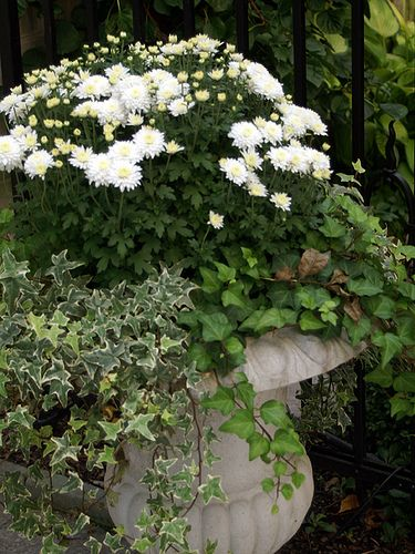 Fall urn with white mums.