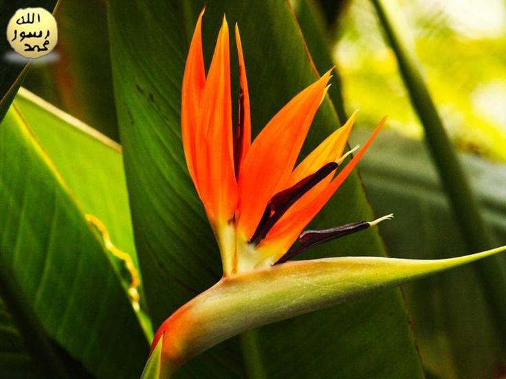 Taç yapraklarıyla kuş kafasını andıran bir güzel görüntü oluşturur. Her çiçek, birkaç hafta süreyle açık kalır, daha sonra bitki yeni çiçekler açar.