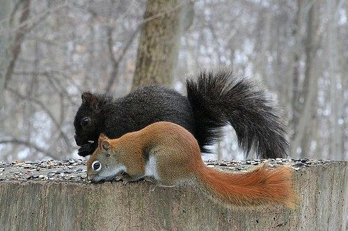 Red and black squirrel