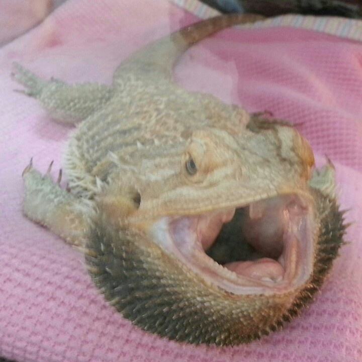 1000 images about bearded dragons and cockatiels pacman - Bearded dragon yawn ...