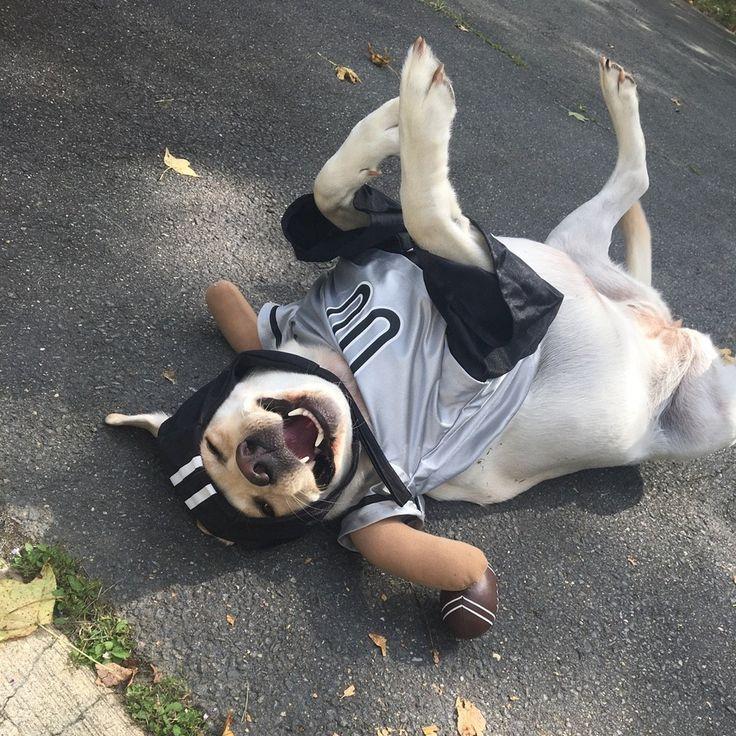 Best 25+ Dog football costume ideas on Pinterest   Puppy ...