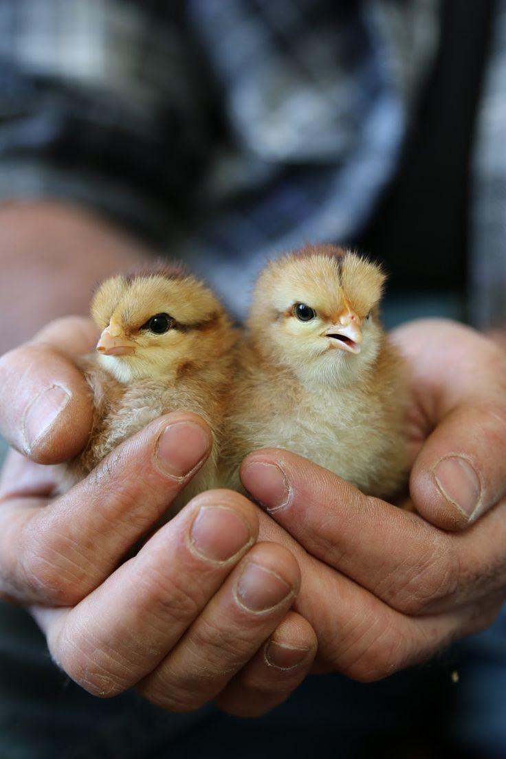 Hoddles Creek Farm: New chickens