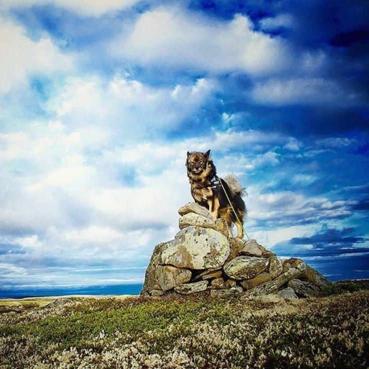 Keela the finnish lapphund on the norwegian mountain