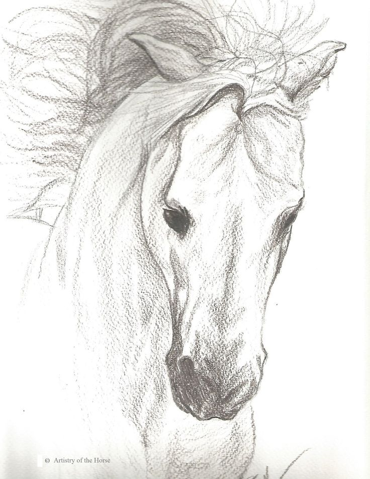 Horse portrait of a grey arabian stallion done in pencil on watercolor paper the print of an original drawing for sale in a limited addition of 25 prints
