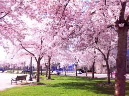 Relax in a cherry blossom japan park #PrincessCruises and #travel