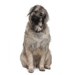 Il Cane da Pastore di Ciarplanina è un cane di taglia grande che ha l'aspetto di un simpatico orsetto e l'affettuosità di un cucciolo appena nato. Attenzione però a non toccargli il padrone! Sa difenderlo a costo della sua stessa vita.