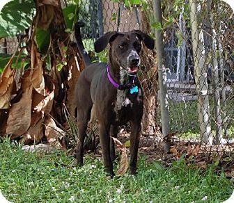, FL - German Shorthaired Pointer Mix. Meet Zeus a Dog for Adoption ...