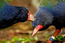 Image result for takahe recovery nz