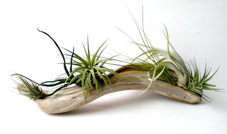 Awesome 80+ Air Plants Decor Ideas https://architecturemagz.com/80-air-plants-decor-ideas/