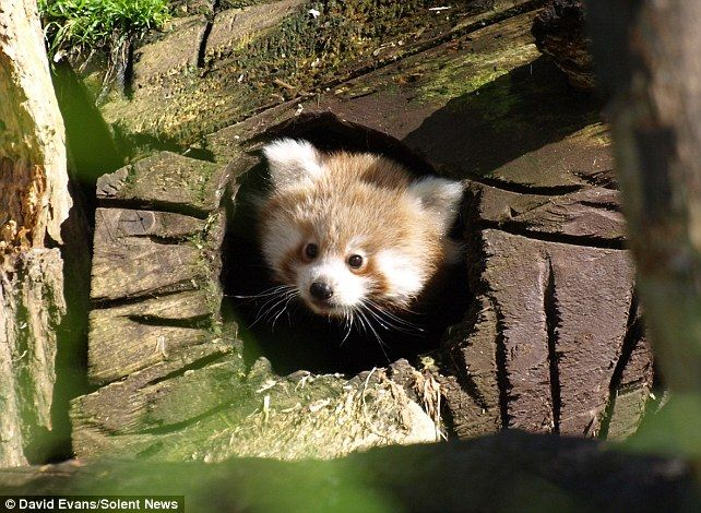 Lily the baby red panda ventures out for the first time.    Read more: http://www.dailymail.co.uk/news/article-2141216/Say-hello-world-Lily-baby-red-panda-ventures-time.html#ixzz1uSemvDN0