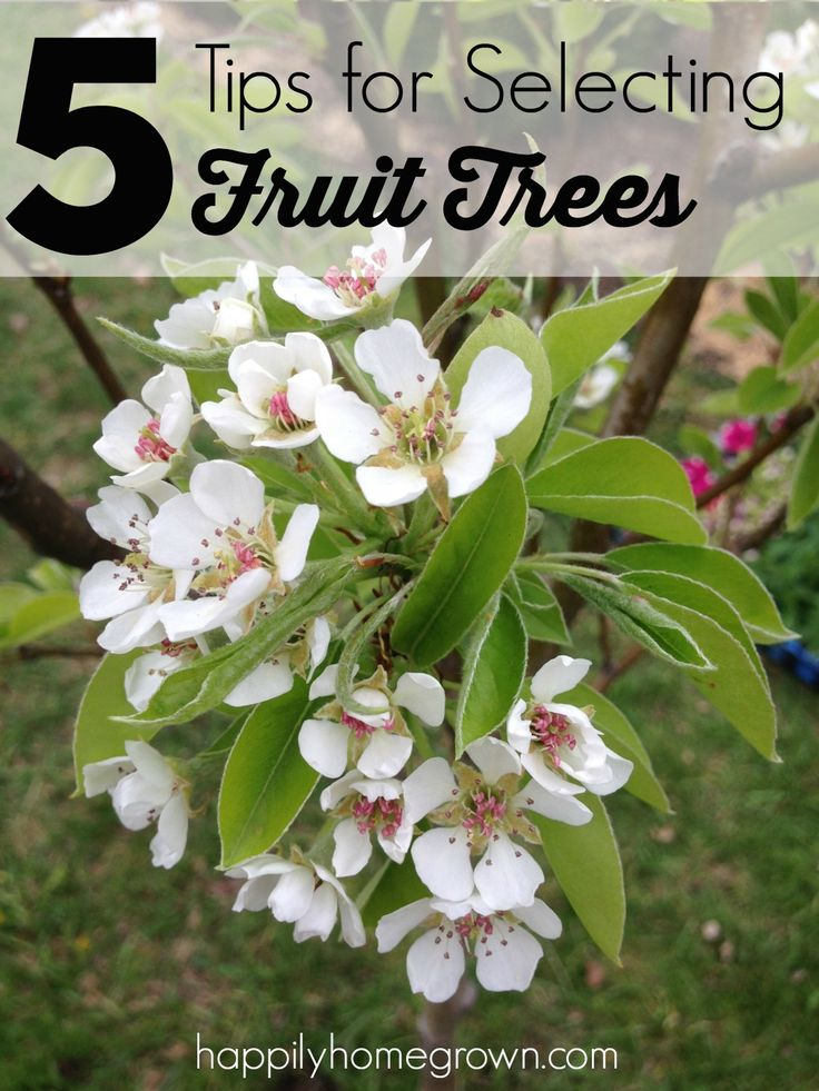 Who is considering adding fruit trees to their property this year?  We currently have 9 on our quarter acre in the burbs - and that's in addition to our blueberry bushes, strawberry patch, flower gardens, and vegetable gardens!  Whether you want to grow apples, peaches, paw paws, or oranges, there are a few things you need to consider when selecting fruit trees to your garden.