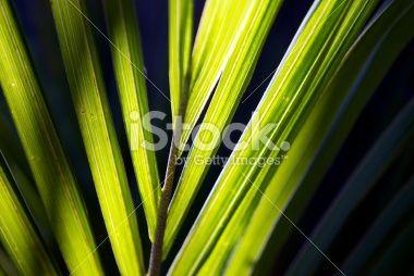 Sunlit Nikau (Rhopalostylis sapida) Palm, New Zealand Royalty Free Stock Photo
