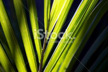 Sunlit Nikau (Rhopalostylis sapida) Palm, New Zealand Royalty Free Stock Photo