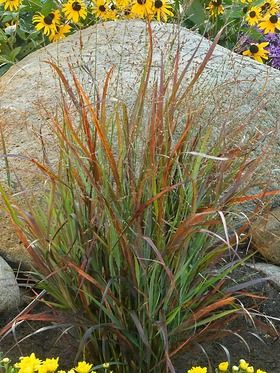 Panicum v 39 cheyenne sky 39 ornamental grass the red switch for Perennial grasses red