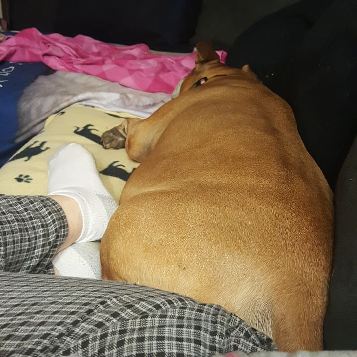 She always has to be laying right next to me #pitbullmom #pitbull #boxer #PrincessZueZue #pibblesofinstagram #pibbles