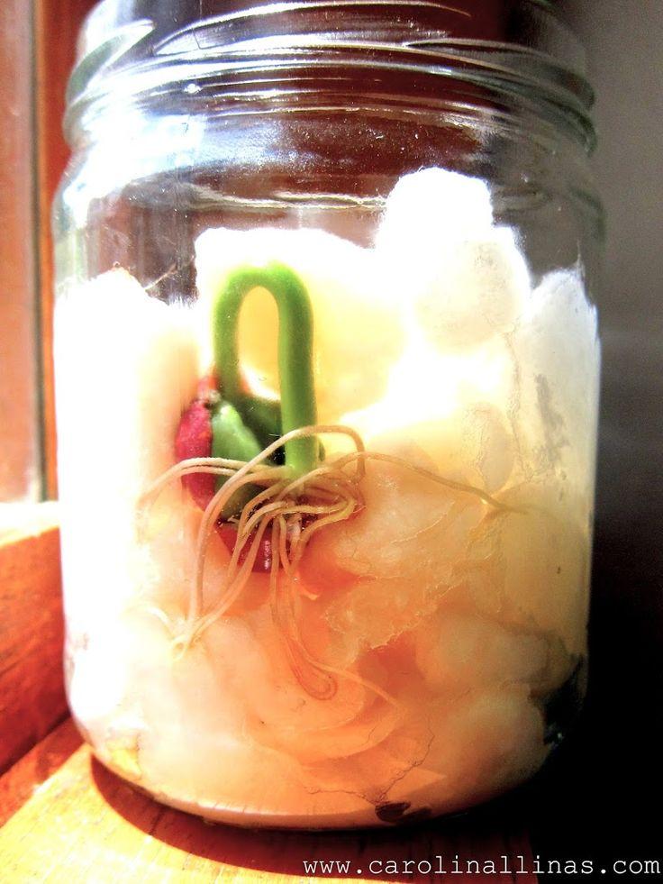 Cómo germinar un frijol en algodón   #Artividades