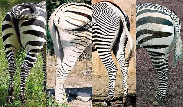 Zebra ID Guide - from Animal Facts Encyclopedia; 1.Grant's zebra has broad black stripes; 2.Burchell's zebra has 2-toned shadow stripes and less stripes on the legs; 3.Grevy's zebra has close, narrow stripes which do not go under the belly; 4.Mountain zebras have a fishbone or gridiron pattern on the top of the rump and the biggest variation in stripe width across the body: close on the ribs, wide on the rear, and the stripes do not go under the belly.
