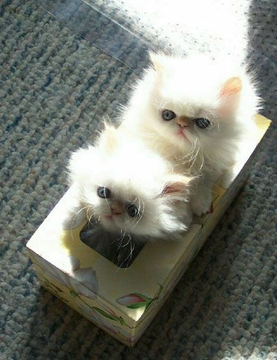 Fluffy kittens in a tissue box                                                                                                                                                                                 More