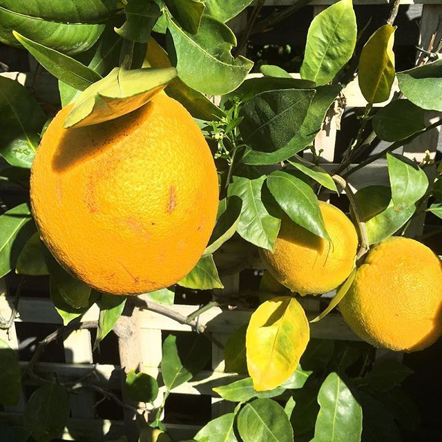 I just love a 🍋 drink in the winter to stops those colds and flue#wintertime #lemon #yellow #flora #fruit #nature #healthyfood #healthychoices #australianartist #australia #queensland #brisbane #