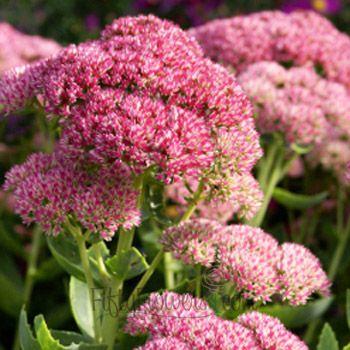 FiftyFlowers.com - Pink Stonecrop Sedum Flower