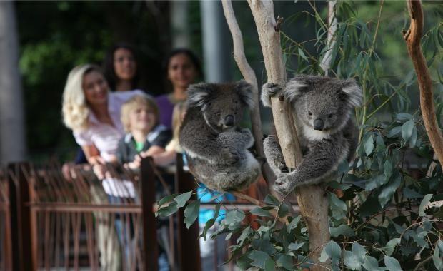 Wildlife Breakfast (Koalas)
