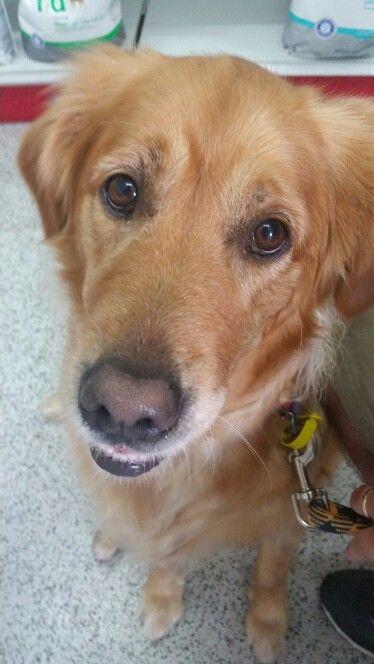 Always happy...even at the vet!! ☺ #goldenretriever #welovegoldens #dog #crazysillypets #doglovers #goldenretrieverlove #goldenretrievers