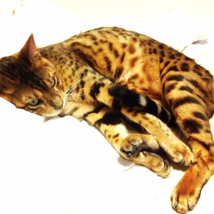 Bengal cat Ailo