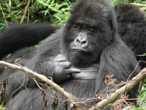 a look at the gorilla and the various conservation efforts to save them The critically endangered mountain gorilla population is threatened by despite years of civil unrest in the region where mountain gorillas live, conservation efforts have found make a symbolic gorilla adoption to help save some of the world's most endangered animals from extinction and.