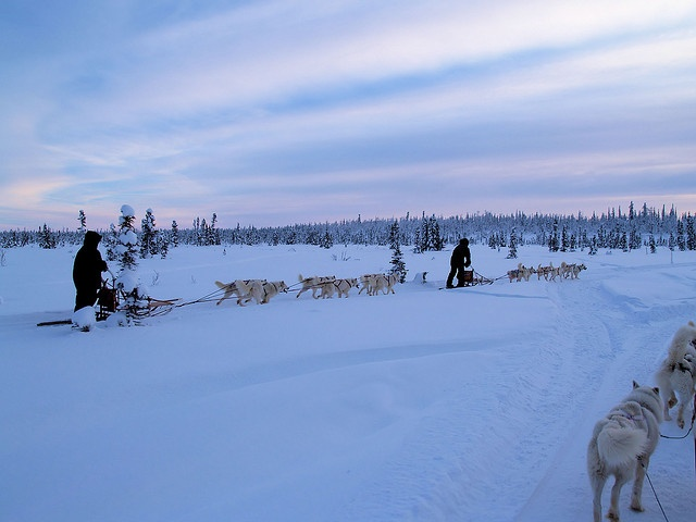 Sled dogs in their element