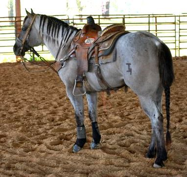 Wyo Roan Advantage 2004 Grullo Roan Stallion by Bonny Blues out of Wyo Advantage. 92% Foundation, 39% Blue Valentine. 5 panel N/N