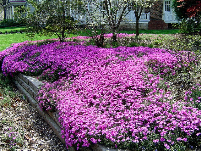 30 best images about flowers  creeping phlox on pinterest