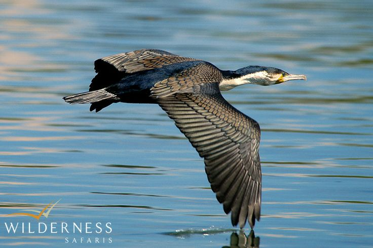 White-breasted cormorant along the Shire River at Mvuu Camp #Malawi #Africa #birding