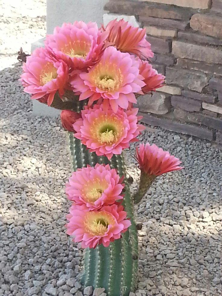 Cactus blooms in Tucson, Arizona