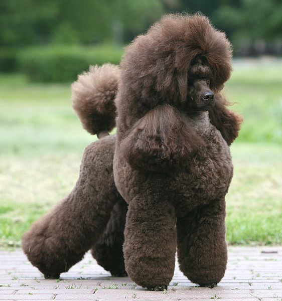 Free Download Mini Poodle Red HD