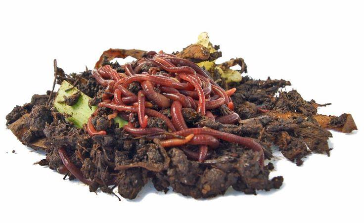 Kompostwürmer verarbeiten organische Abfälle zu Wurmhumus