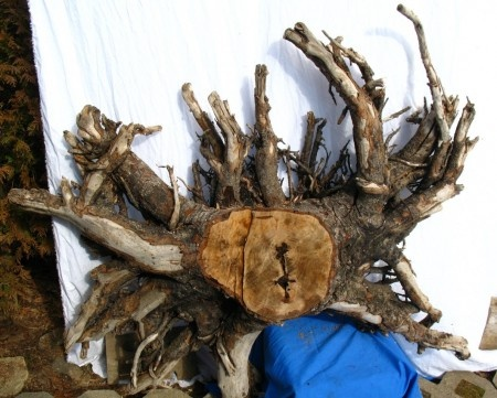 """Large driftwood piece for sale called """"The Crab"""". Perfect for a driftwood table. http://www.jamesriverdriftwood.com"""