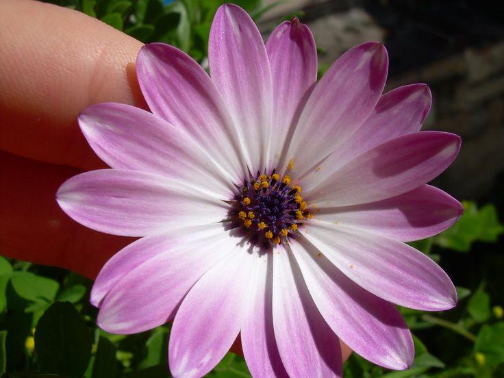 Un semplice fiore nello splendore dei suoi colori.