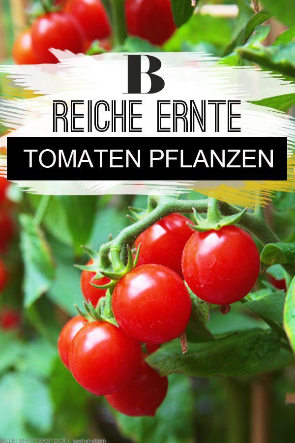 Tomaten Pflanzen Reiche Ernte Aus Dem Eigenen Garten Balkon