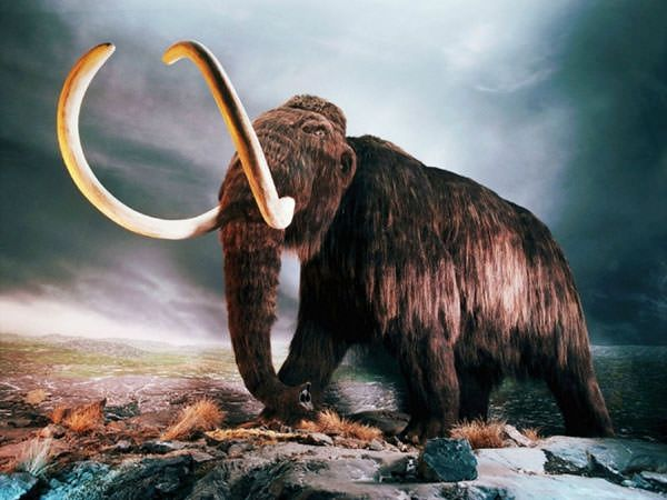 The woolly mammoth were hunted by Homo sapiens and so they became food for early humans. The last woolly mammoths went extinct about 4,000 years ago. (Image Source: Red Ice Creations)