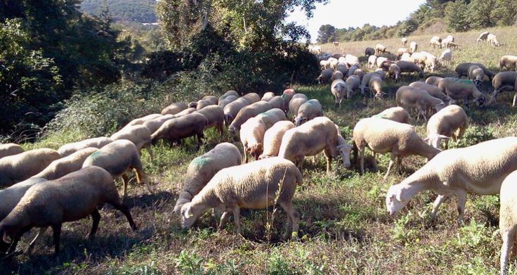 Una mañana de pastor en Cal Serrats