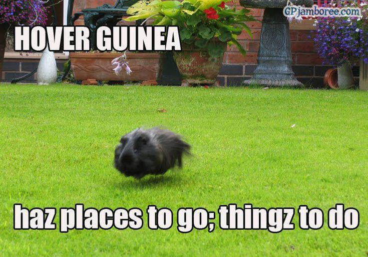 Photos A Meme that Describes Your Guinea Pig - Page 2
