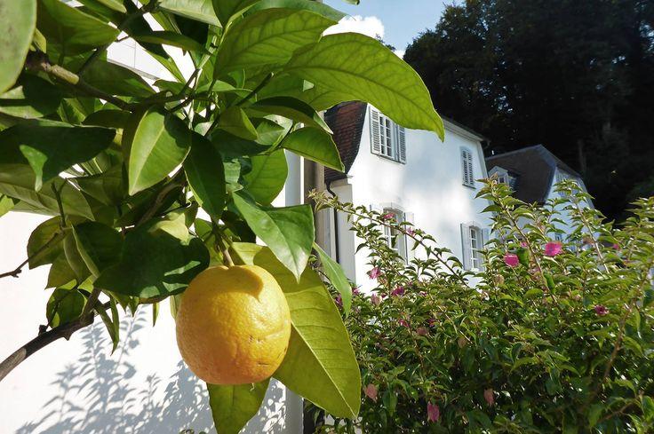 #Staatspark #Fürstenlager #Citrusfrucht #Zitrone #Gartendenkmalpflege #Bensheim #HessischeWeinstraße #b_lau