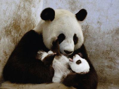 Wolong National Nature Reserve, China | ... Caring for Cub, Wolong Nature Reserve, China Impressão fotográfica