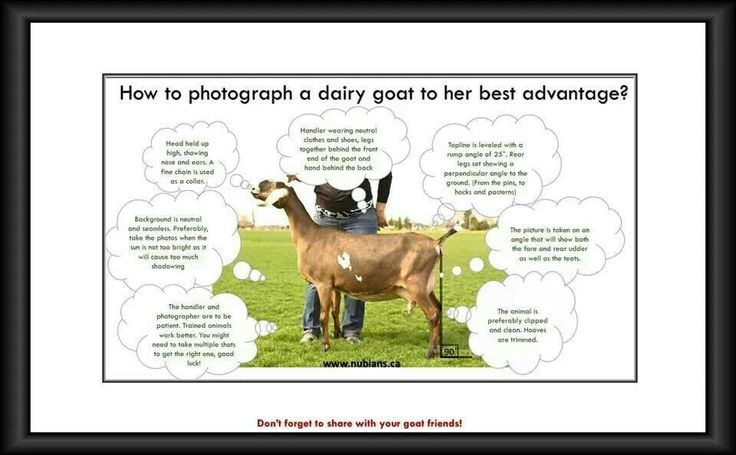 how to show a dairy goat