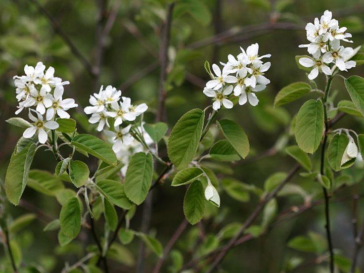 isotuomipihlaja - Amelanchier spicata