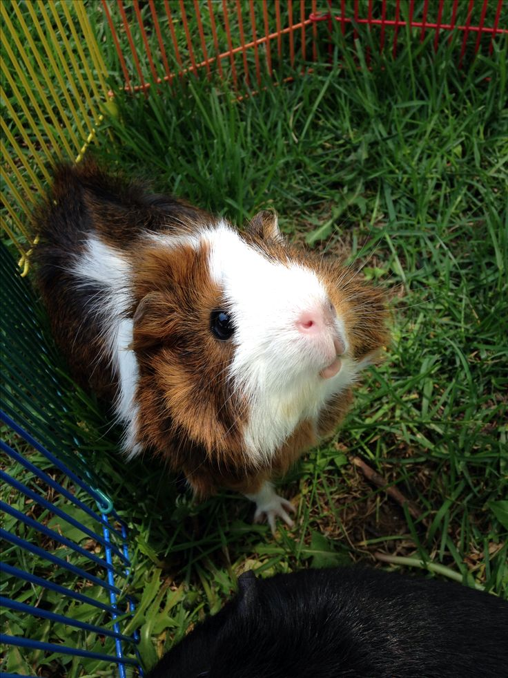 957 best guinea pigs cavies yay images on pinterest for Free guinea pig stuff