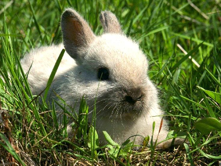 Lapin Nain - Facile à garder en appartement, discret, sociable, le lapin joue à merveille les compagnons d'intérieur. À condition de prendre le temps de l'apprivoiser... http://www.botanic.com/animalerie/les-produits/petits-anim-oisellerie/petits-anim/un-lapin-de-compagnie