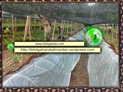 Bibit Gaharu (aquilaria malaccensis)anakan,biji mahakam ulu / ujoh bilan...
